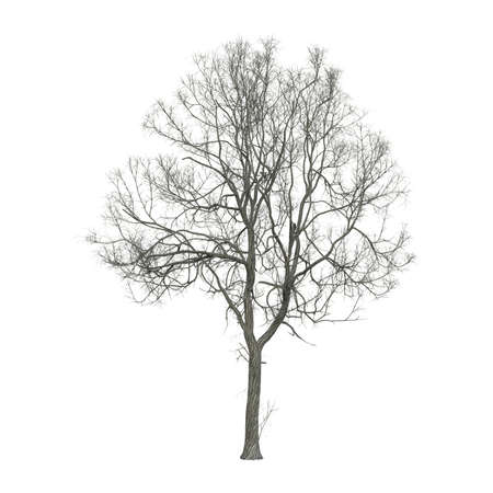 Leafless dry tree photorealistic 3D illustration, isolated on the white background.
