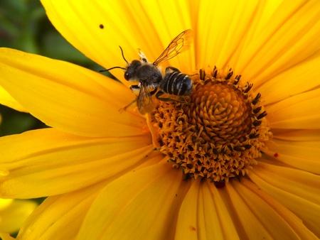 Hornet Resting on FLower