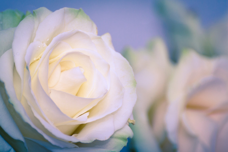 Beautiful white rose flower head. The best gift for a dearly loved one. Close up of a white rose. Soft focused.