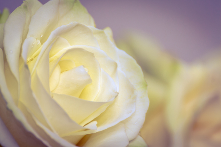 Beautiful yellow rose flower head. The best gift for a dearly loved one. Close up of a yellow rose. Soft focused. Stock Photo