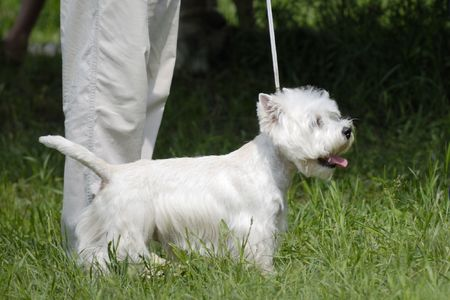 Young west highland white terrier on green grass