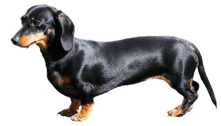 Pedigree dachshund dog over white background Stock Photo