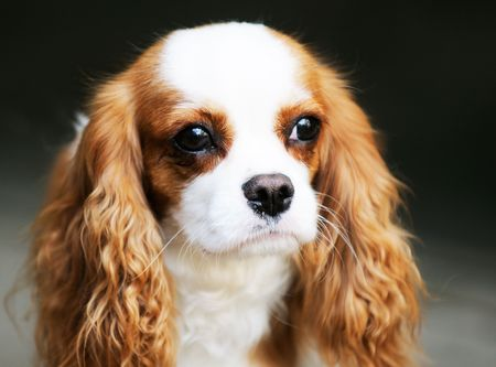 King Charles spaniel dog outdoor portrait over blurry background