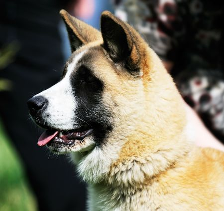 Japanese Akita dog outdoor portrait over blurry background