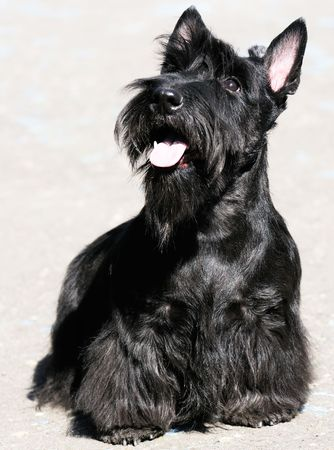 Black Scottish Terrier sitting outdoor, over blurry grey background