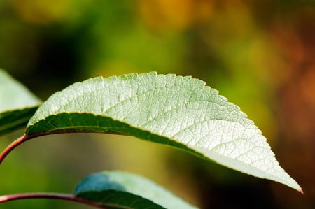 Green apple tree leaf over blurry background, for desktop wallpaper Stock Photo - 8082096