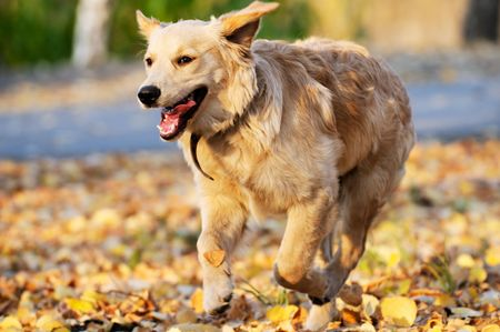 Running young Golden retriever dog over blurry background