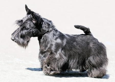 Black Scottish Terrier standing outdoor, over blurry grey background