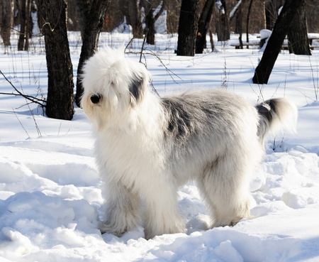 Pedigree Bobtail dog walking  in winter park