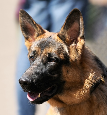 German shepherd dog outdoor portrait over blurry background Stock Photo - 9184260