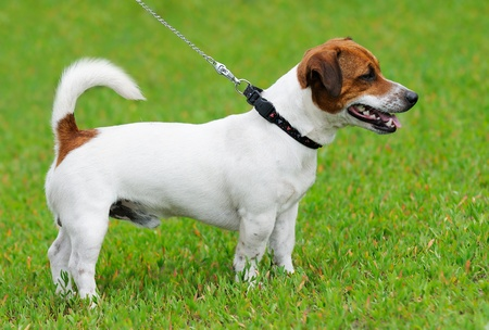 Jack Russell terrier standing on green grass Stock Photo - 10010992