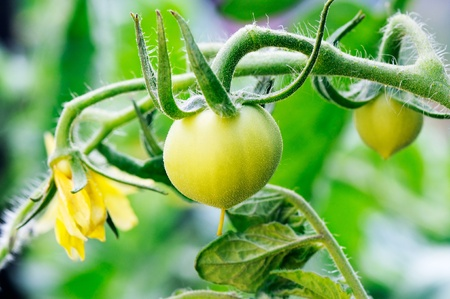 Green tomato fruit and yellow tomato flower, selective focus, blurry background