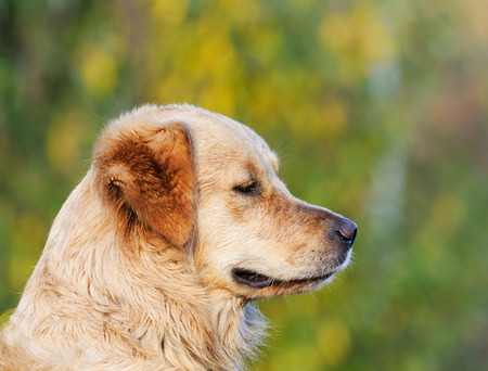 bakground: Labrador Retriever dog outdoor portrait over blurry green background