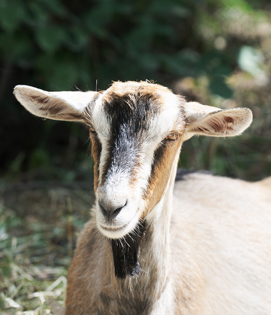 Goat outdoor portrait over blurry background