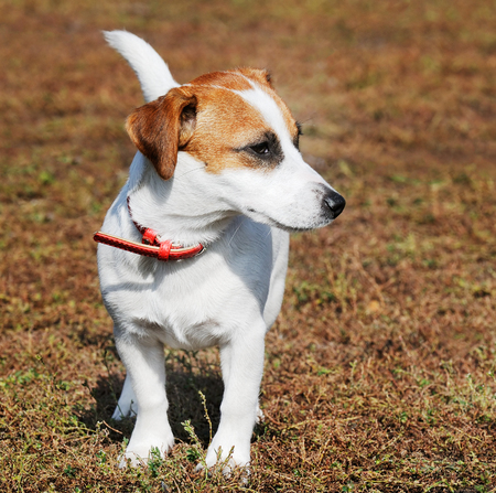 Young Jack Russell terrier dog outdoors portrait over blurry background