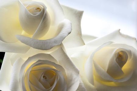 Close-up rosa bianca può utilizzare come sfondo. Focalizzazione morbida.