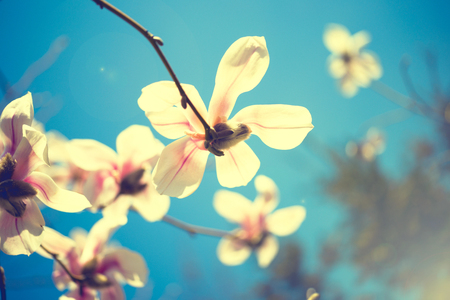 Beautiful magnolia flowers. Selective focus