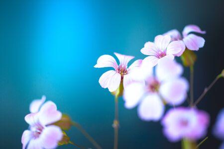 Daisy flower against blue sky,Shallow Dof. spring flowers 写真素材 - 130718041