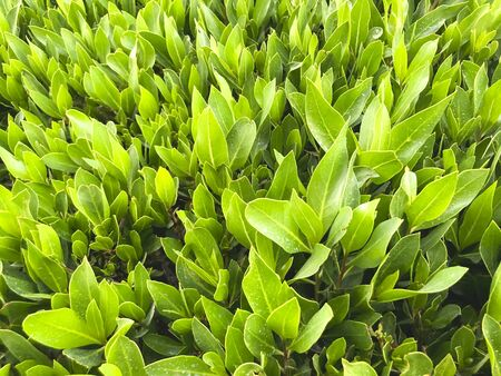 Green grass background. Backyard for background. Green lawn desktop picture 写真素材 - 130718576