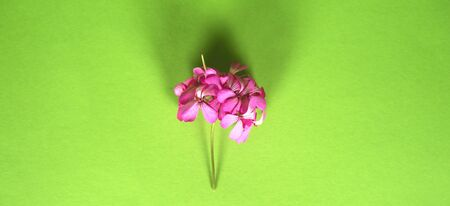 Daisy flower isolated on bright pink background. spring flowers. Floral background.