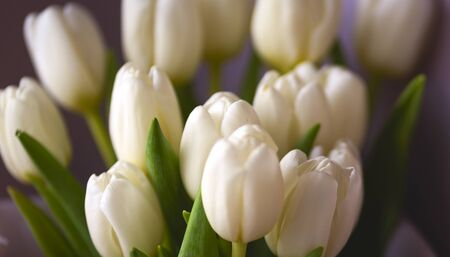 spring flowers banner - bunch of white tulip flowers on bright colorful background. spring flowers.
