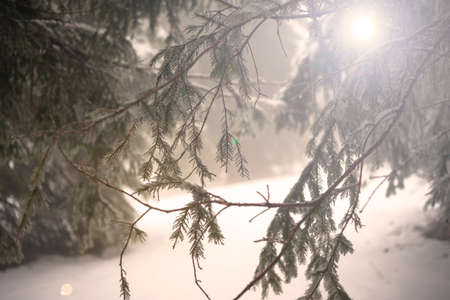 Fir branches covered with snow. Winter forest.