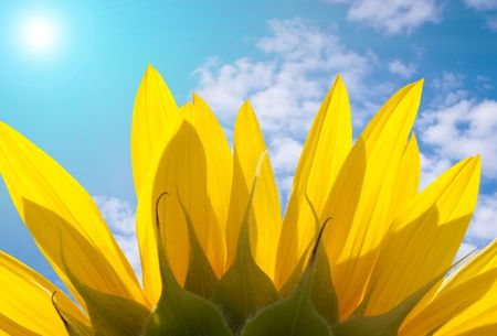 The reverse side of sunflower petals with beautiful skyline and the sun shining