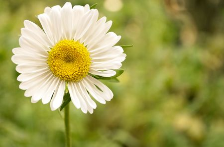 Beautiful camomile on a green background photo