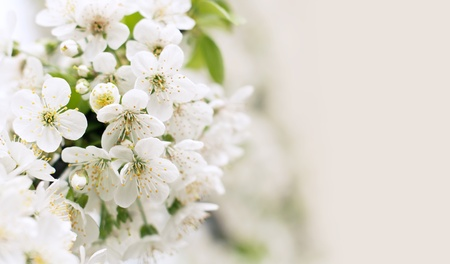 Beautiful cherry blossoms in spring close up Stock Photo - 9528757