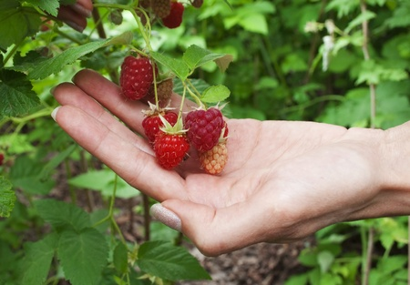 Ripe raspberries in the womens hand in the garden photo