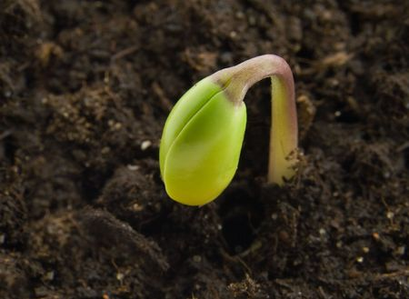 Single sprout in its first day of life photo