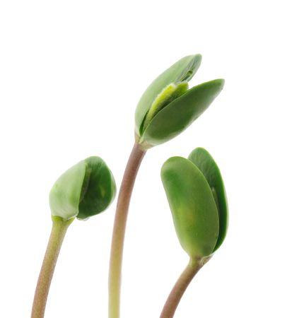 Les petits germes de soja isolées sur fond blanc