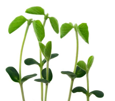 Five young plants of soya isolated on white background