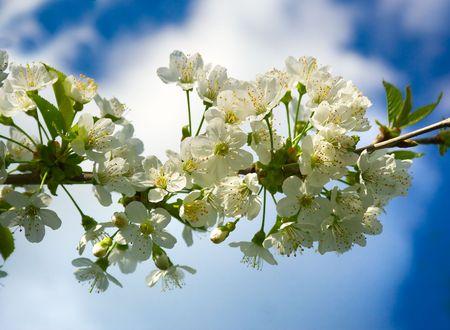 Cherry blossom Stock Photo - 4630536