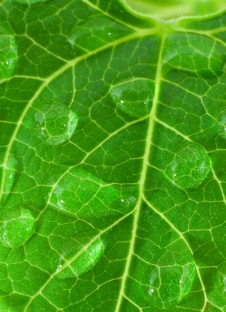 Bean leave with drop photo