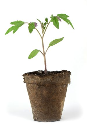 turf: Tomaat plantgoed in turf pot geïsoleerd op whtie