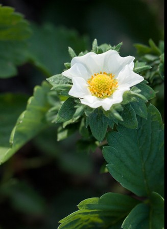 Strawberry blossom with leaves photo