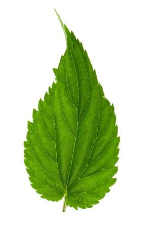 Nettle leaf isolated on white photo