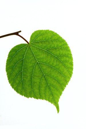 minutiae: Linden leaf isolated on white