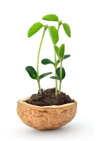 Small plant of soy in a nutshell photo