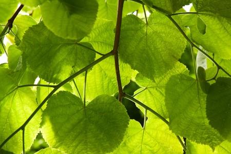 limetree: Lime-tree leaves Stock Photo