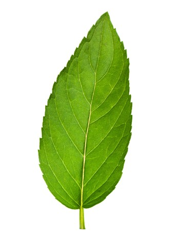 Leaf of mint isolated on white photo
