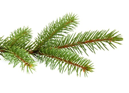 twig: Pine tree branch isolated on white backgrond