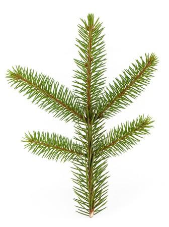 spar: Pine tree branch geïsoleerd op een witte backgrond