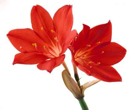 lily buds: Orange flower isolated on white