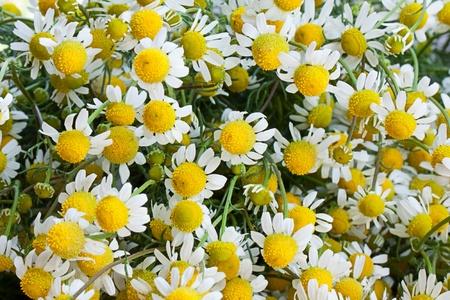 matricaria recutita: Camomilla, matricaria recutita.
