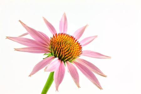 purpurea: Echinacea flower isolated on white background Stock Photo