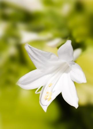 lirio blanco: Lirio blanco sobre fondo verde Foto de archivo