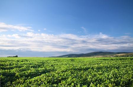 緑は夏の終わりに大豆フィールドを栽培 写真素材