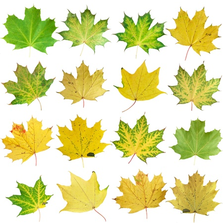 Autumn leaves isolated on white photo